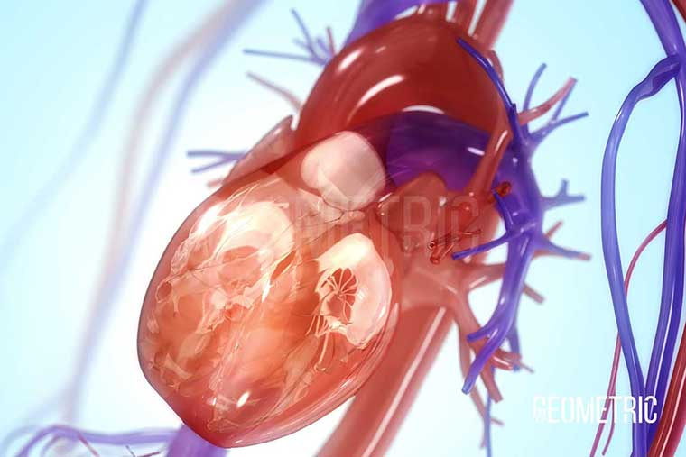 Circulatory System Illustration